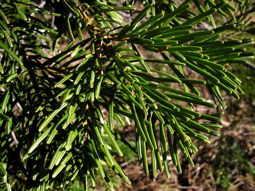 Balsam Fir Abies Concolor