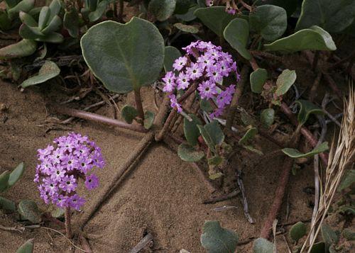 Pink Sand Verbena Abronia Umbellata
