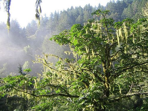 Big Leaf Maple Acer Macrophyllum