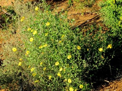 Bush Sunflower Encelia Californica