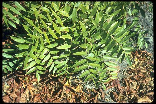 Northern California Black Walnut Juglans Hindsii