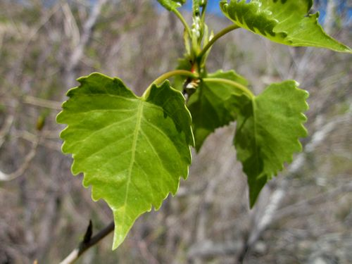 Cottonwood Tree 1-2 year old healthy plant Populus Fremontii