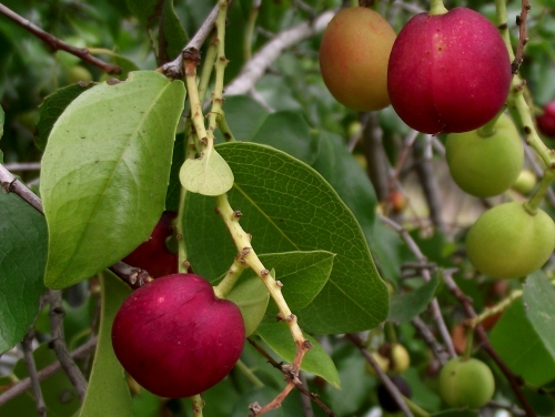 Prunus ilicifolia ssp lyonii image 6