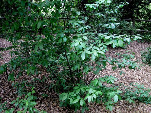 Prunus Virginiana Chokecherry Tree