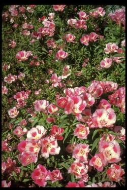 Farewell To Spring Clarkia Amoena Ssp Whitneyi